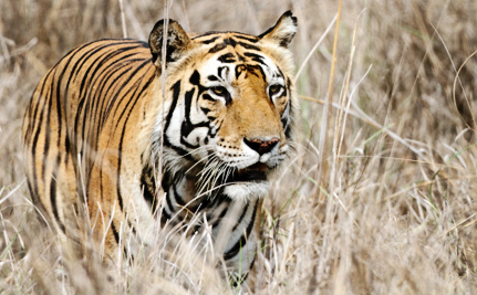 Endangered Tigers Are Being Poisoned With Pesticides