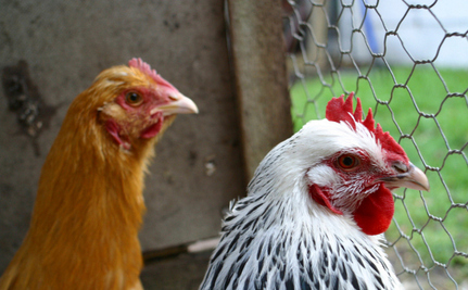 Hipster Farmers Abandoning Backyard Chickens By The Hundreds