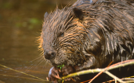 Beavers, the Unsung Warriors in the Fight Against Climate Change