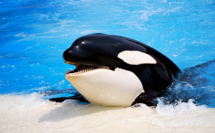 Blackfish: The Movie SeaWorld Doesn't Want You to See