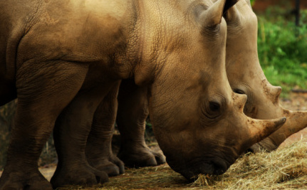 Is Inbreeding the Only Way to Save the Sumatran Rhino?