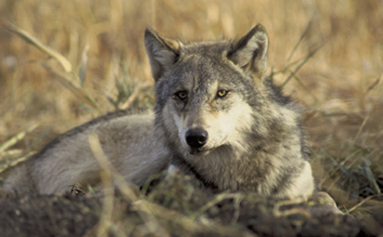 Endangered Mexican Gray Wolf Shooting Threatens Species Recovery Efforts