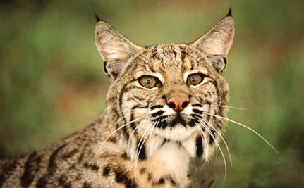 Public Stands Against Bobcat Trapping Near Joshua Tree