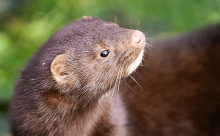 American Mink to Pay for Exxon Valdez Spill With Their Lives