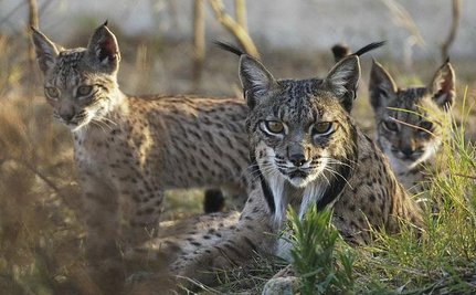 Save the World's Rarest Cat By Doing One Thing, Say Researchers