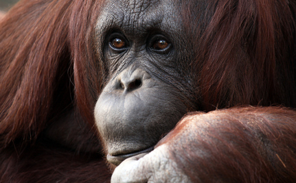 Chimps and Orangutans Hold on to Their Memories, Just Like Us