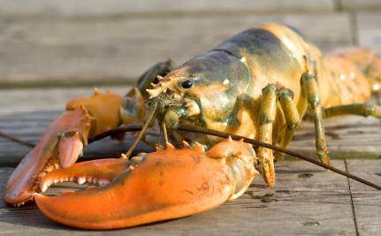 Climate Change Has Created a Lobster Eat Lobster World