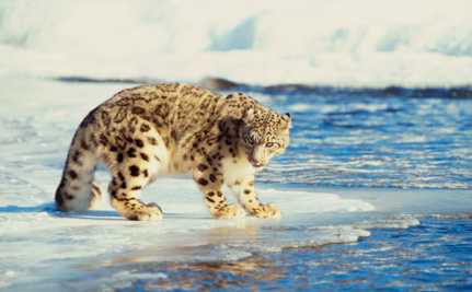 Demand for Cashmere is Killing Snow Leopards