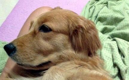 Tragic Death of Mars, Beloved Golden Retriever, Leads to Outrage in China