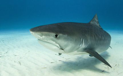 Massive Shark Cull Planned Following Fatal Attacks