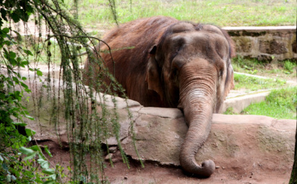 Nosey the Tortured Elephant Still Forced to Give Rides and Perform