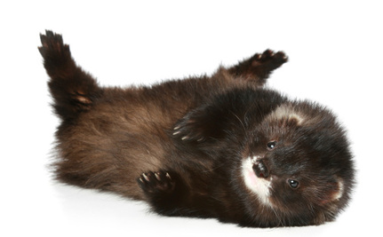 Thousands of Minks Freed from Idaho Fur Farm