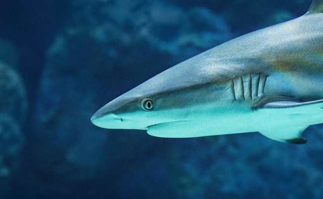 7 Awesome Facts You Didn't Know About Sharks