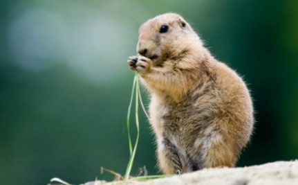 Hunting Contest Targets Prairie Dogs, Sparks Outrage