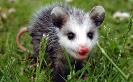 Update on the Opossum Drop: PETA Gets Paid, Animals Still Lose