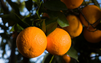 The Future of Fuel Might Be Inside of an Orange Grove