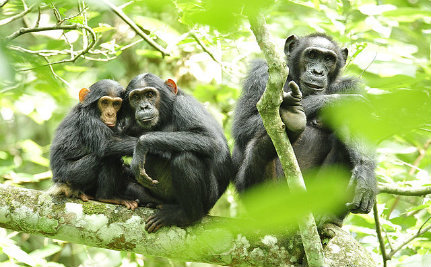 Legalizing Weed Could Save Endangered Chimps in Nigeria