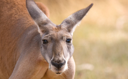 Boy Lost in the Australian Bush Saved by a Friendly Kangaroo