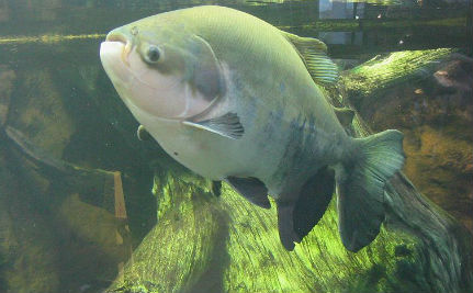 Testicle-Biting Fish Invade Swedish Waters
