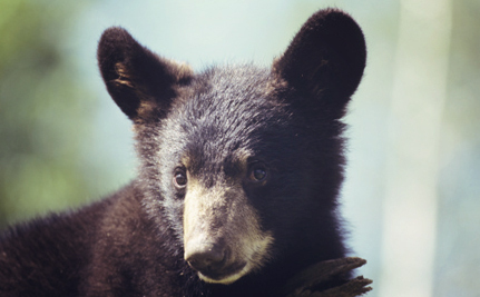 Maine, it's Time to Ban Brutal Bear Hunting Practices