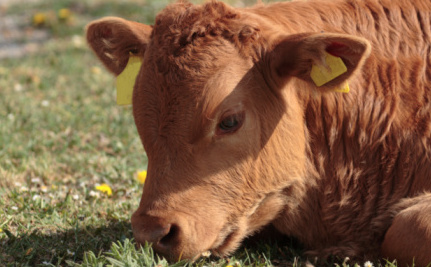 These Drugs Fatten Up Cattle and Make It Painful to Walk