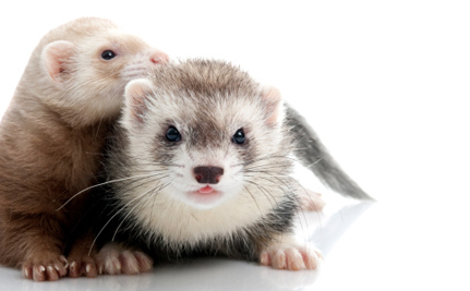 Two Young Ferrets Snatched From Rising Tide Just in Time