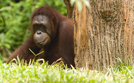 4 Fun Facts (and 1 Not So Fun Fact) About Orangutans