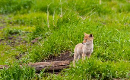 Restricting Rat Poison Could Have Saved Coyote Pup