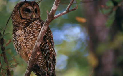 Loggers Get the OK to Kill Endangered Spotted Owls