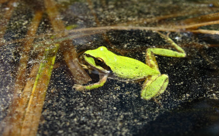 Pesticides Travel 100 Miles to Poison Mountain Frogs