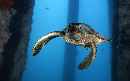 Don't Think You Can Save a Species? Green Sea Turtles Beg to Differ