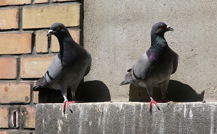 The Zombie Pigeons of Moscow: It's an Alfred Hitchcock Meets George Romero World