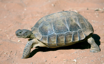 Why a Conservation Center May Have to Kill Endangered Tortoises