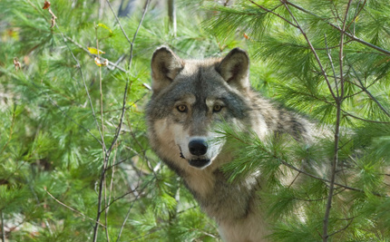 Gray Wolf Returns to Kentucky, Hunter Shoots Her