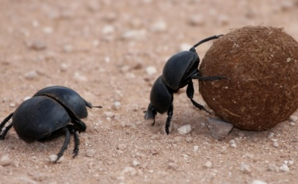 How a Manure-Eating Beetle is Helping Save the World