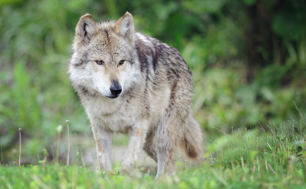 Mexican Gray Wolves Now Have a Fighting Chance at Survival