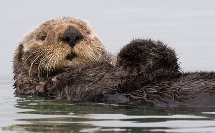 How Much Are Sea Otters Worth on the Carbon Market?