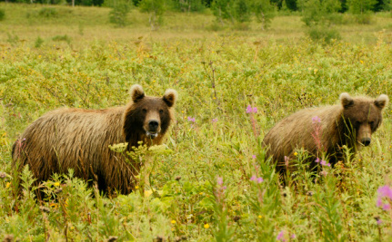 Bears Go Hungry After Russia's Record Floods, Some Will Be Shot