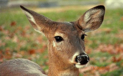UPDATE: Man Confesses to Killing Ella, the Loving Deer