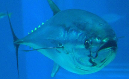 Bluefin Tuna Catch a Break With Promising New Regulations
