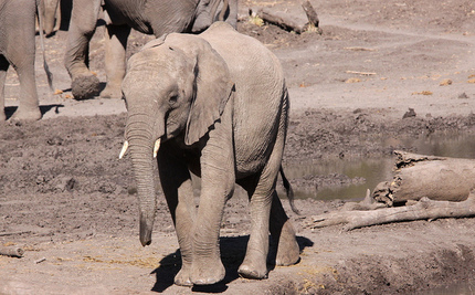 41 African Elephants Poisoned by Poachers at Watering Hole