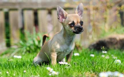 Daily Cute: Hope the Rescued Chihuahua is Now an Energetic Pup