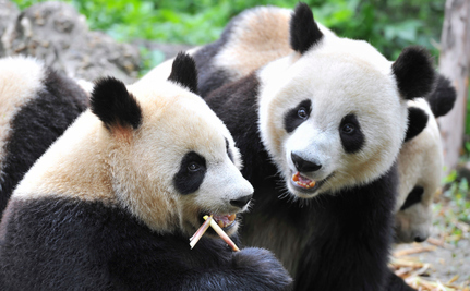 Should We Just Give Up on the Panda?