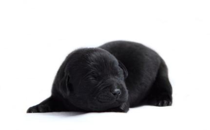 Simple Labrador Black Adorable Dog - 3040169  Gallery_871471  .jpg