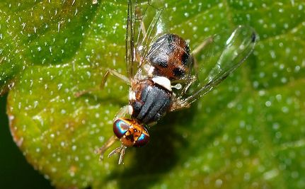 Are 'Frankenflies' a Safe Alternative to Chemical Pesticides?