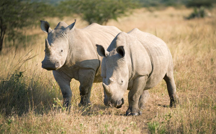 U.S. Steps Up to Help White Rhinos Rebound From the Brink of Extinction