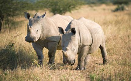 U.S. Steps Up to Help White Rhinos Rebound From the Brink of Extinction