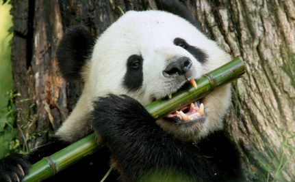 Is Panda Poop a Key to Solving Our Energy Crisis?