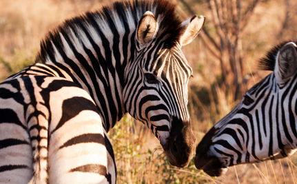 Satellite Proves Zebra Migration is More Complicated Than We Thought