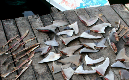 Even Hong Kong Has Started to Ban Shark Fins